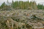 "Olympic National Forest, Washington, USA.  Clear-cut logging and piles of logging debris (slash piles) on the Olympic Pennisula.   Commonly clearcuts leave blocks of ""reserve"" trees that won't be cut."