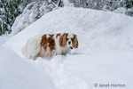 "Issaquah, Washington, USA.  ""Mandy"", an elderly Cavalier King Charles Spaniel, walking in snow up to her belly, pausing to look at the camera as the snow continues to fall.  (PR)"