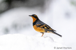 Issaquah, Washington, USA.  Male Varied Thrush standing on a deep pile of snow, in active snowfall.
