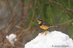 Issaquah, Washington, USA.  Male Varied Thrush standing on a deep pile of snow in active snowfall.