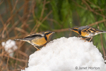 Issaquah, Washington, USA.  Two male Varied Thrushes standing on a deep pile of snow during a light snowfall, each claiming the territory of that snow mound.