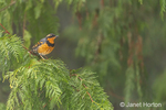 Issaquah, Washington, USA.  Male Varied Thrush perched in a Western Redcedar tree.