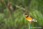 Issaquah, Washington, USA.  Male Varied Thrush perched a green pole during a snowfall.