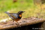 Issaquah, Washington, USA.  Male Varied Thrush sitting on a wooden crate covered with ice on a patio.