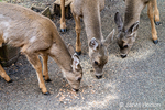 Issaquah, Washington, USA.  Three Mule Deer does eating birdseed and peanuts from a patio.