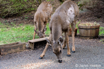 Issaquah, Washington, USA.  Two Mule Deer does eating birdseed and peanuts from a patio.
