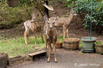 Issaquah, Washington, USA.  Three Mule Deer does standing on a cement patio hoping for some food in winter.