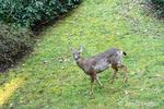 Issaquah, Washington, USA.  Mule Deer seen from above walking across a lawn in winter.