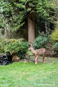Issaquah, Washington, USA.  Mule Deer doe walking across a lawn in winter in front of a small waterfall.