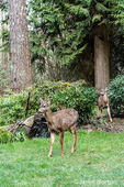 Issaquah, Washington, USA.  Two Mule Deer does walking across a lawn in winter in front of a small waterfall.