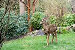 Issaquah, Washington, USA.  Mule Deer doe walking across a lawn in winter in front of a small pond.