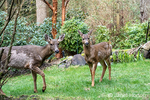 Issaquah, Washington, USA.  Two Mule Deer does walking across a lawn in winter in front of a small pond.