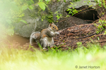 Issaquah, Washington, USA.  Western Grey Squirrel eating a nut in the woods.