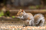 Issaquah, Washington, USA.  Female Western Grey Squirrel eating a peanut from a patio feast.