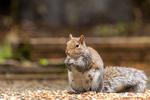 Issaquah, Washington, USA.  Female Western Grey Squirrel eating a peanut from a patio feast.