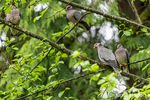 Issaquah, Washington, USA.  Four Band-tailed Pigeons sitting in a tree.