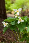 Issaquah, Washington, USA.  Western Trillium wildflowers, also known as Wake Robin or Western Wake Robin.