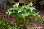 Issaquah, Washington, USA.  Western Trillium wildflowers, also known as Wake Robin or Western Wake Robin.