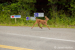 Mule Deer fawn running across the road in a residential area