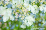 Issaquah, Washington, USA.  Floral double exposure of Doublefile Viburnum blossoms (Viburnum plicatum) and Baby Blue Eyes (Nemophila menziesii).  The Double Viburnum is also known as Japanese Snowball tree.
