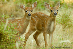 Two Mule Deer fawns curiously looking out from behind a bush