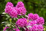 Issaquah, Washington, USA.  Pink Rhododendron in bloom.