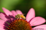 Coneflower Magnus with a honey bee taken in my backyard.  This plant attracts butterflies and other beneficial insects.