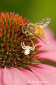 Coneflower Magnus flower with a honey bee and a White Crab Spider or White Flower Spider taken in my backyard.