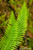 Makah Indian Reservation near Neah Bay, Washington, USA.  Deer Fern looks vaguely like sword fern, but the leaflets are attached to the leaf axis all along their bases.