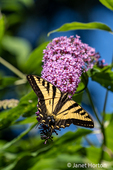 Issaquah, Washington, USA.  Western Tiger Swallowtail butterfly pollinating a Butterfly Bush.