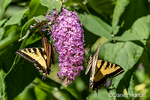 Issaquah, Washington, USA.  Two Western Tiger Swallowtail butterflies pollinating a Butterfly Bush.
