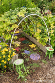 Bellevue, Washington, USA.  Violet Podded Stringless pole beans grown on an arched trellis.