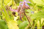 Honeybee pollinating borage growing in a garden in Maple Valley, Washington, USA