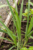 Bellevue, Washington, USA.   Lemon Grass plants, commonly cultivated as culinary and medicinal herbs.