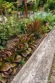 Bellevue, Washington, USA.  Breen lettuce in a raised bed garden.  Breen is a slow-growing miniature red romaine lettuce with an elegant, urn-shaped head.