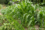 Bellevue, Washington, USA.  Corn, carrots and beets growing in a garden.