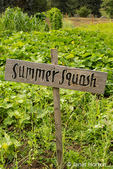 Patch of summer squash with a hand-painted sign in a garden in Maple Valley, Washington, USA
