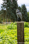 Owl statue above a squash garden, aimed at scaring away birds in Maple Valley, Washington, USA