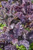 Redbor kale growing in a garden in Maple Valley, Washington, USA