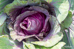 Kalibos cabbage growing in a garden in Maple Valley, Washington, USA.  Incredibly graceful appearance would qualify Kalibos for the flower garden! But this European variety is eminently useful as well. The conical, long, heart-shaped, 2-pound heads of deep red are on the small side, ideal for a single dish. The color is so beautiful when the leaves are shredded into slaw. Flavor is mild and very sweet.