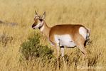 Female Pronghorn in field
