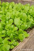 Bok Choy plants growing in Issaquah, Washington, USA
