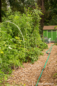 Path through the Mirrormont Pea Patch community vegetable garden towards the tool shed in Issaquah, Washington, USA.  Tomatoes are growing on the left.
