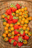 Basket of freshly harvested Sungold cherry tomatoes and strawberries in a garden in Issaquah, Washington, USA