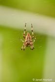 Issaquah, Washington, USA.  Cross spider (Araneus diadematus) on its web in a garden.