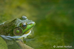 Galena, Illinois, USA.  Green Frog in farm fish pond.