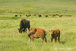 Bison calves with mother and herd, with one bison calf biting his back to stop the itching.