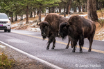 Yellowstone National Park, Wyoming, USA.  American Bison boldly crossing the highway at their leisure, holding up traffic.