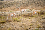 Yellowstone National Park, Wyoming, USA.  Three female American Antelope grazing in chaparral area.