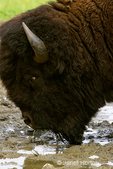 American Bison portrait close-up drinking out of small mud puddles